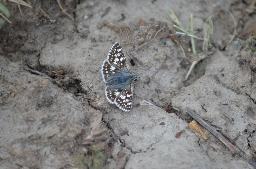 a common checkered-skipper butterfly, grasslands national park, saskatchewan