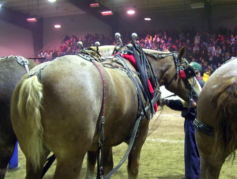 heavy horse pull, markham fair, markham, ontario