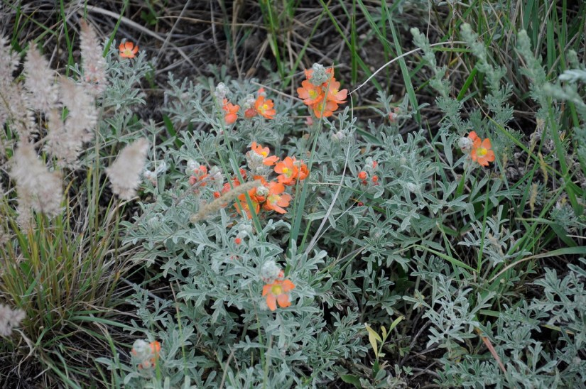 scarlet globemallow, grasslands national park, saskatchewan
