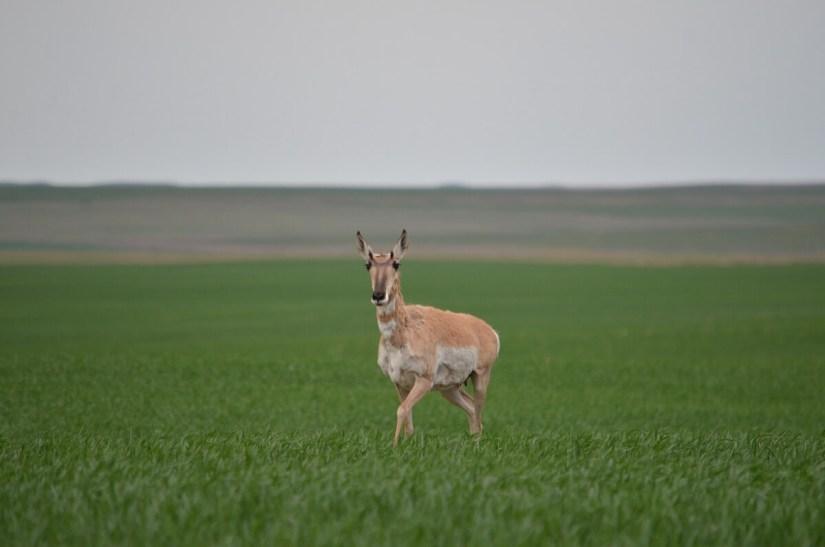 prognhorn antelope, val marie, saskatchewan