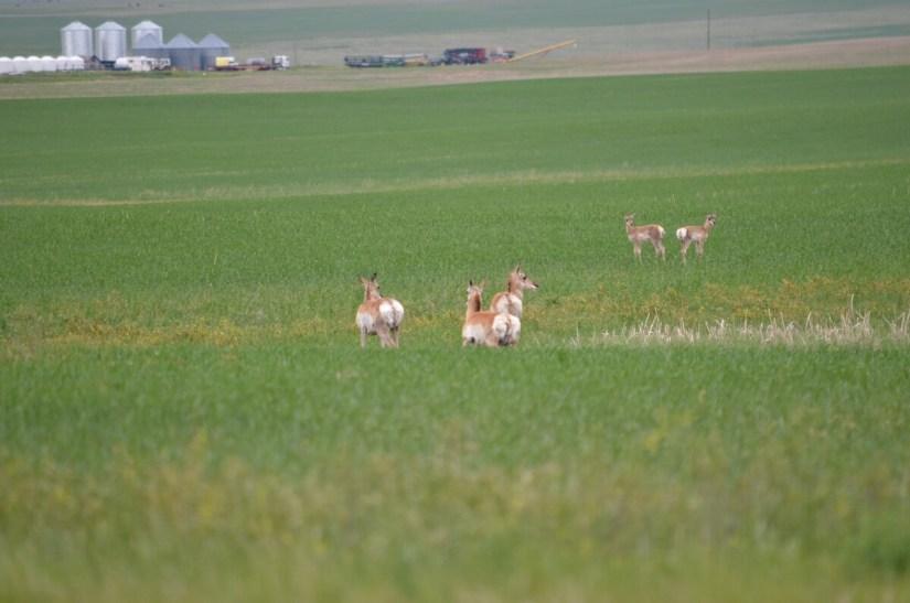 pronghorn antelopes, val marie, saskatchewan