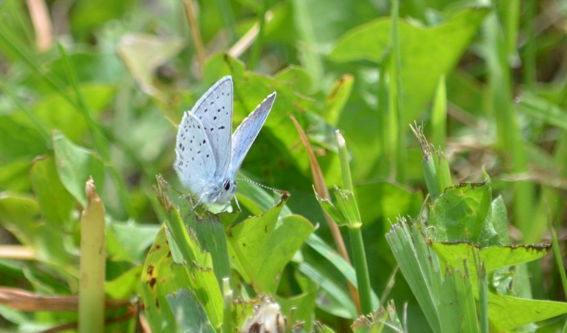 a blue copper butterfly, riverwalk trail, grasslands national park, saskatchewan