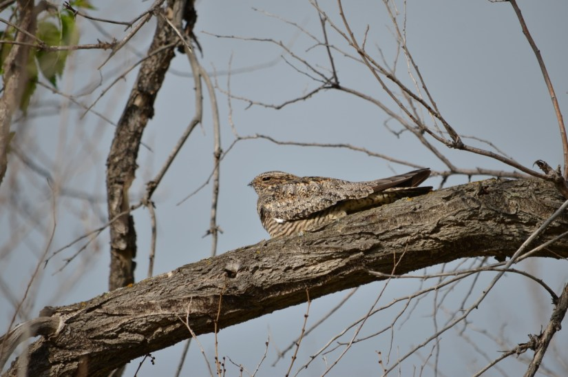 a common nighthawk, val marie, saskatchewan, near Grasslands National Park