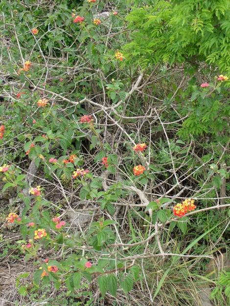 lantana flowers, oribi gorge, south africa