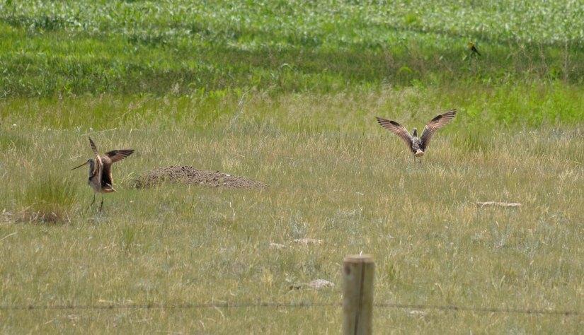 marbled godwits, val marie, saskatchewan