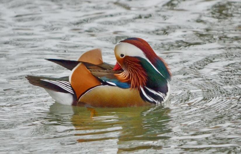 Eddie, A Mandarin Duck on the Lam, Ontario, Canada
