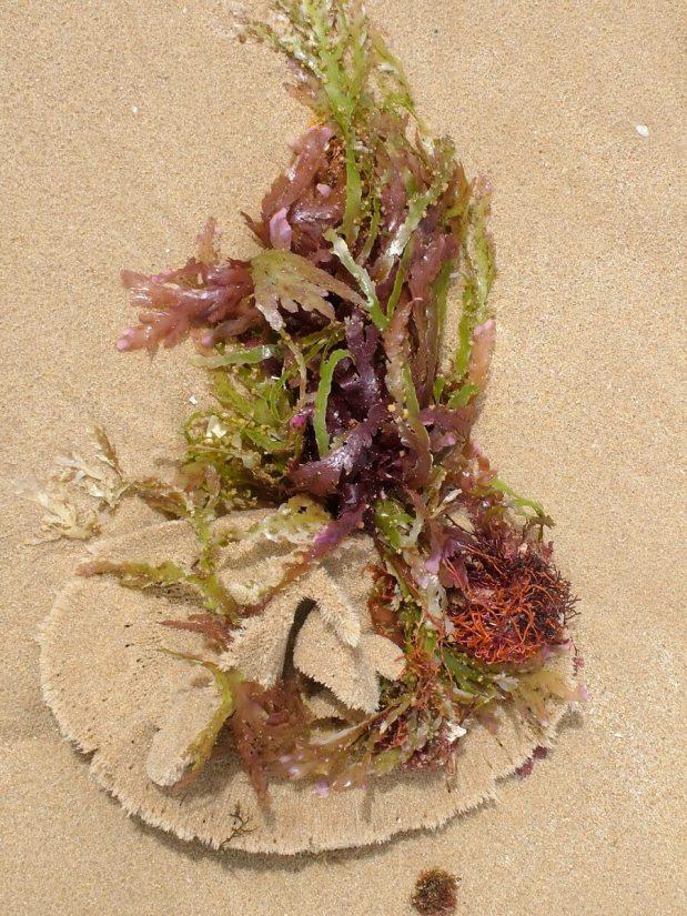 a sand dollar in seaweed, port elizabeth, south africa