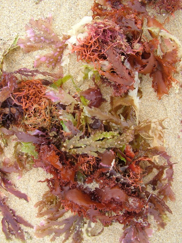 colourful seaweed, port elizabeth, south africa