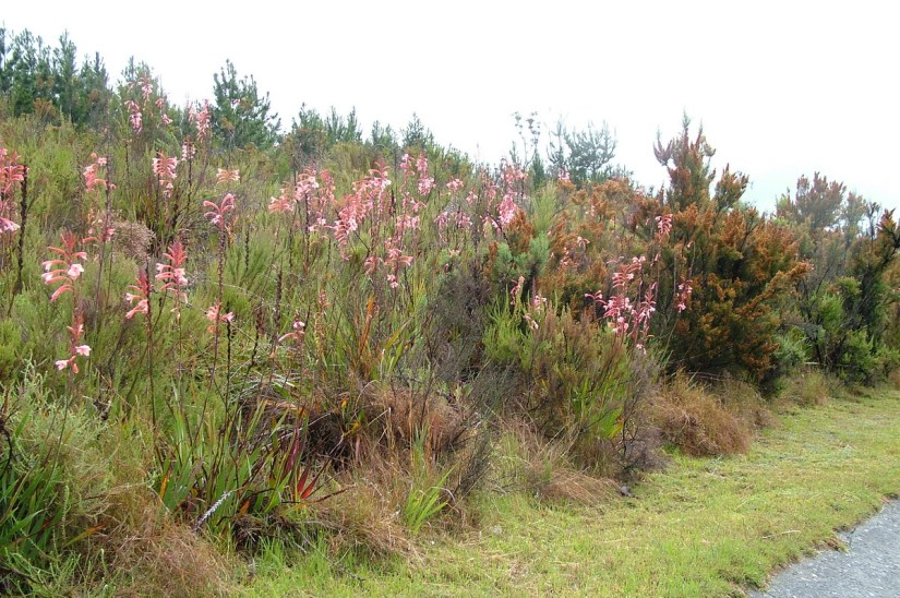 fynbos along the garden route, south africa