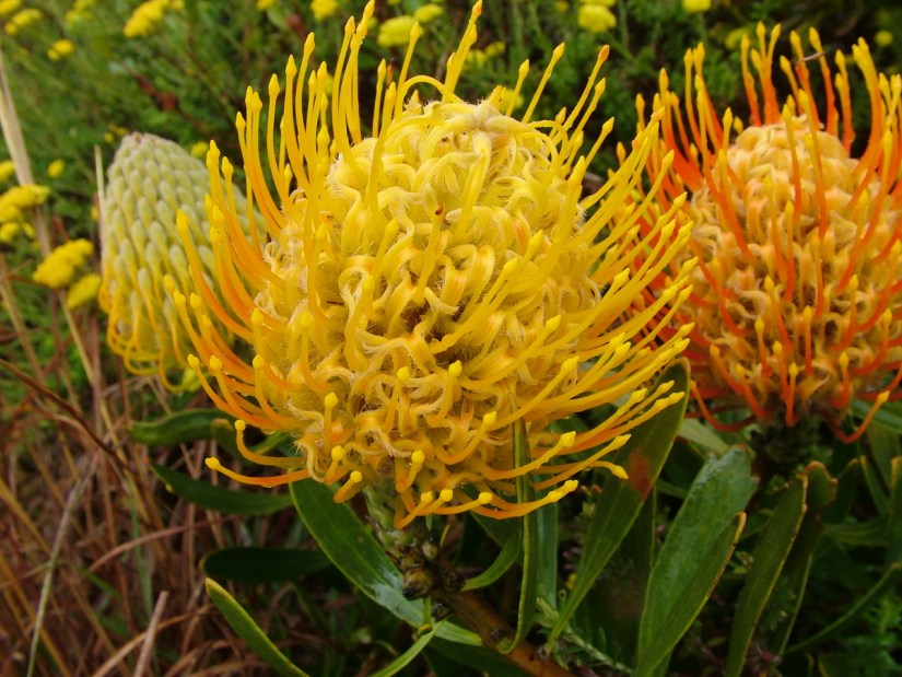 styles of a pincushion protea flower, garden route, south africa
