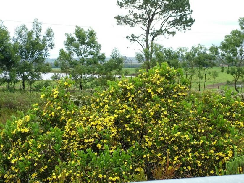 yellow fynbos along the garden route, south africa