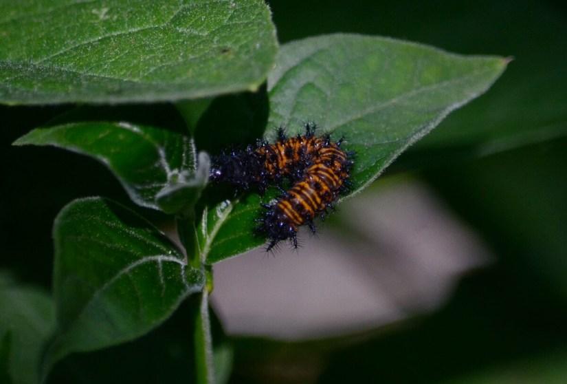 baltimore checkerspot larva, rouge national urban park, toronto, ontario