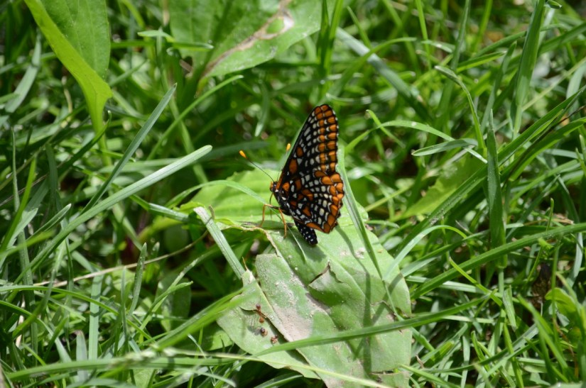 baltimore checkerspot butterfly, glendon forest trail, toronto, ontario