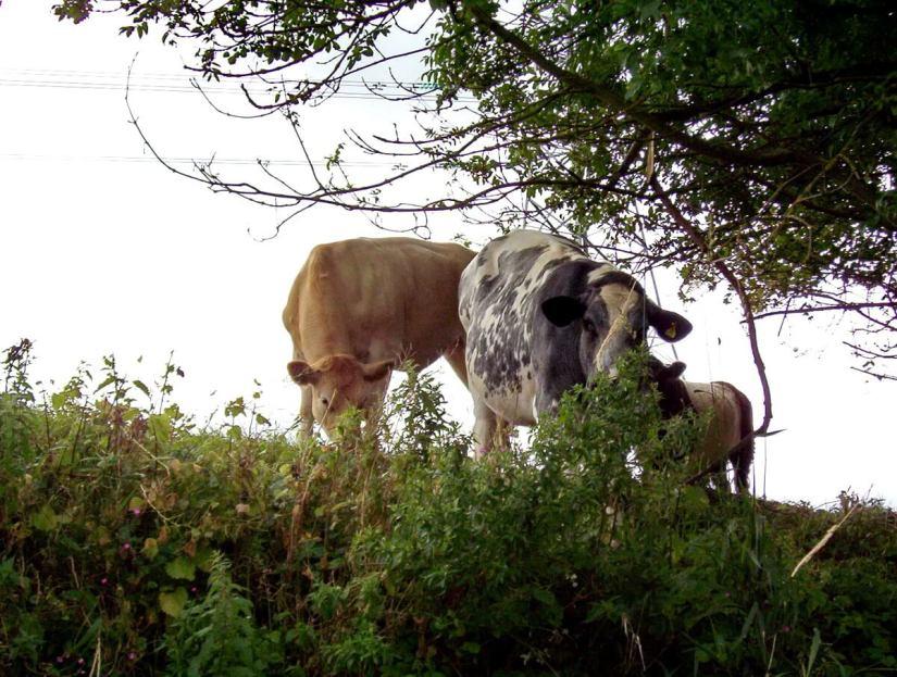 cows along the avon river, bath, england