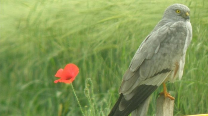 The Gray Harrier nests on the ground unlike other birds of prey. / © R. Riols - LPO Auvergne