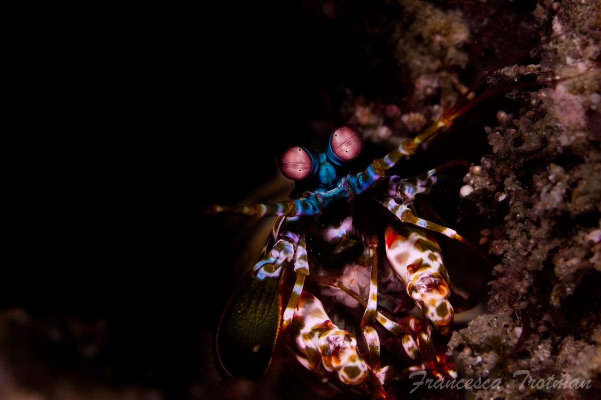 Mantas Shrimp Home