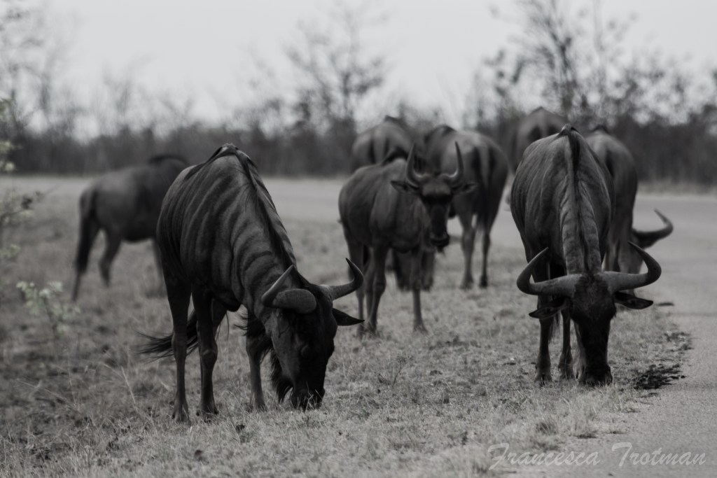 Wildebeests Gather