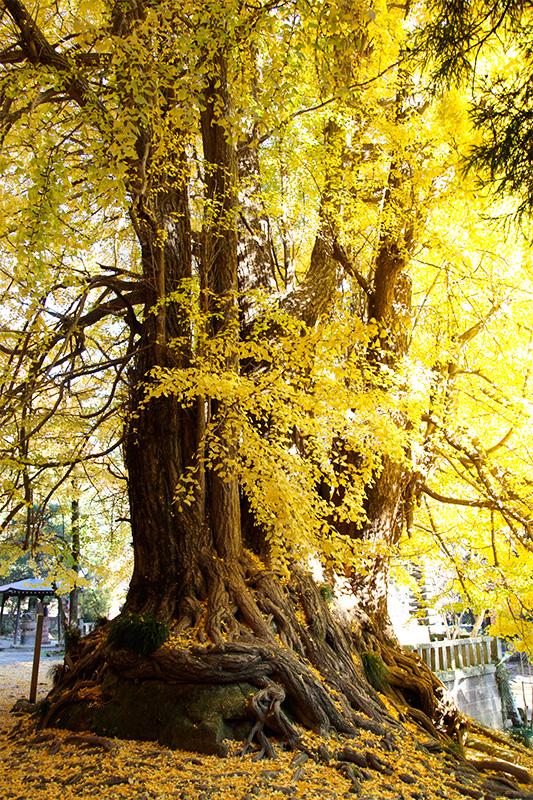 Il grande Ichō a Shōbōji (Prefettura di Saitama)