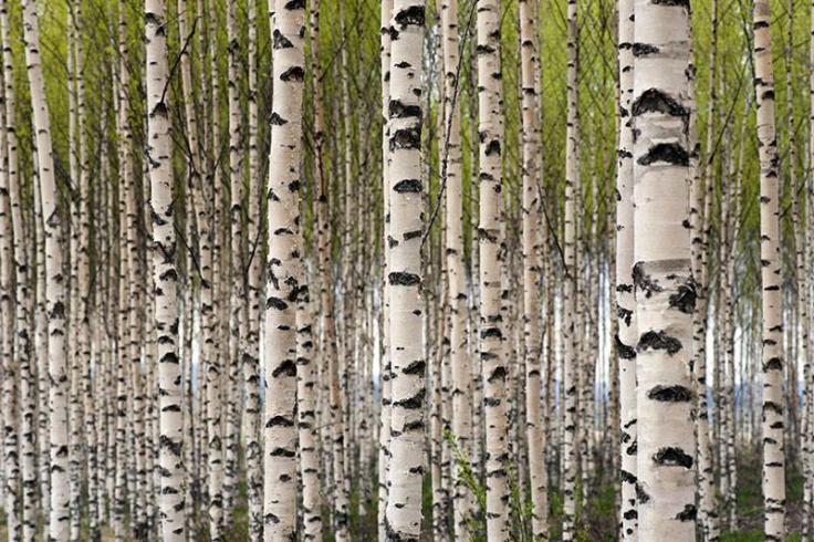 Carta-da-parati-paesaggio-naturale-Grove-di-Betulle-decorazione-Murale-per-il-ristorante-sala-riunioni-divano.jpeg