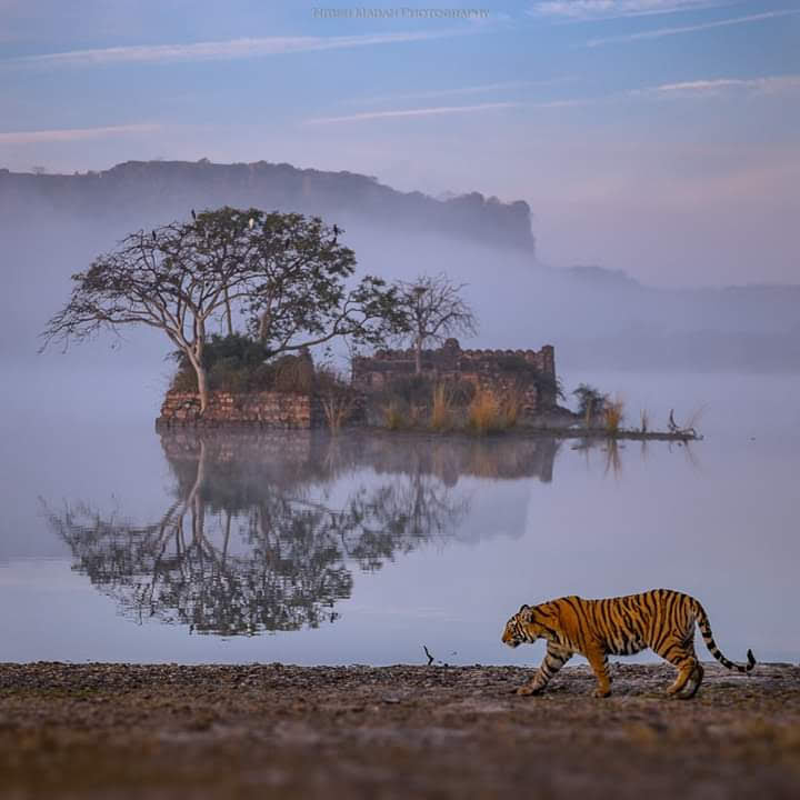 NITISH MADAN (FOTOGRAFO): RANTHAMBORE NATIONAL PARK - INDIA