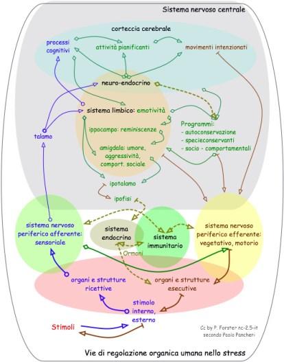 Vie di regolazione organica umana nello stress