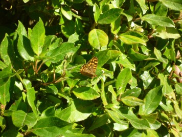 spotted-butterfly