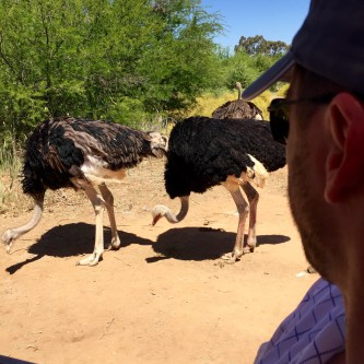Viewing the ostriches from the vehicle.