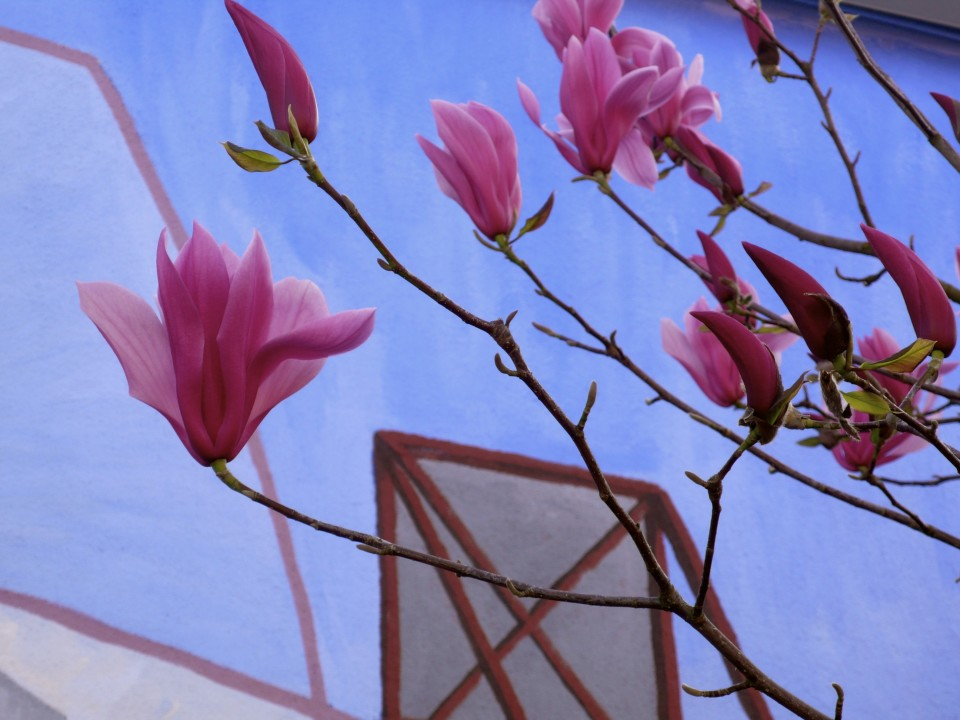Magnolias in bloom against the blue sky and mural!