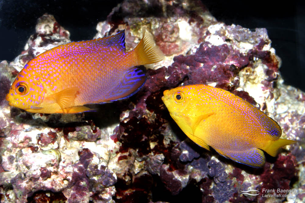 Centropyge interruptus pair displaying dichromatic sexual differences