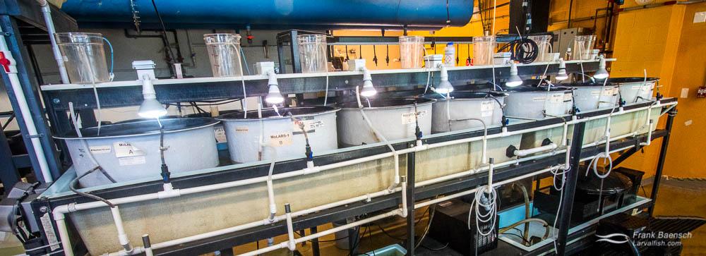 Larval rearing tanks at the Marine Biology Wetlab, Roger Williams University, Rhode Island.
