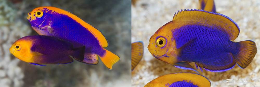Resplendent cherubfish hybrid