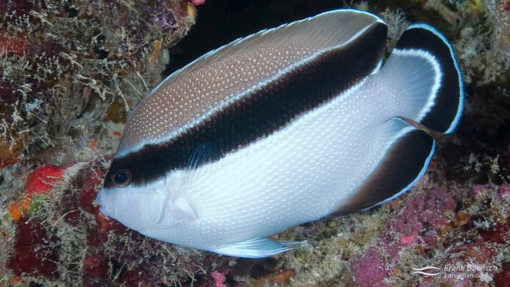Adult Bandit Angelfish (Apolemichthys arcuatus) on a deep reef in Hawaii.