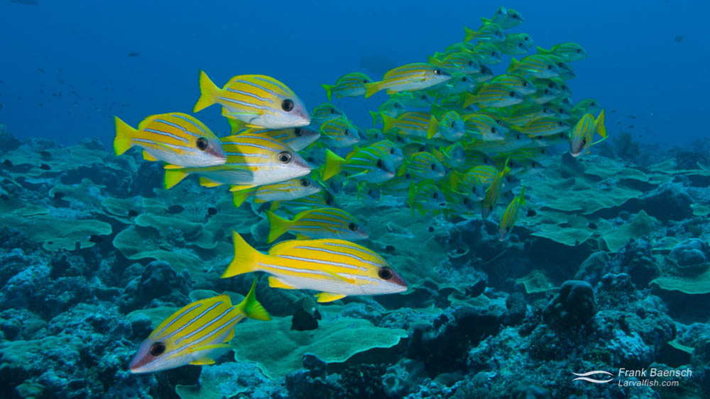 Bluestripe Snapper (Lutjanus kasmira) school on a reef in Hawaii.
