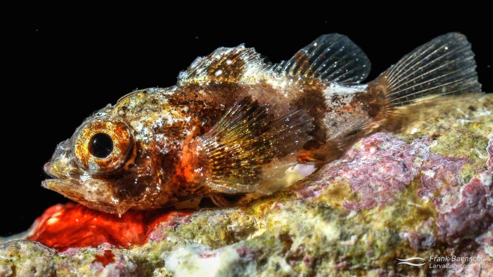 Juvenile Speckled Scorpionfish (Sebastapistes coniorta) reared in the laboratory.