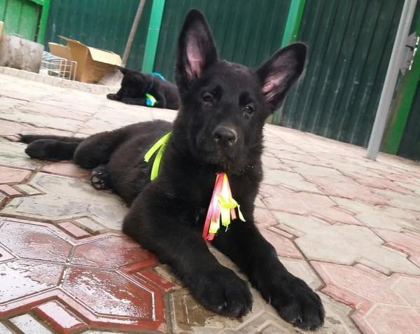 Архив: Подрощенный щенок(девочка) немецкой овчарки черного ...