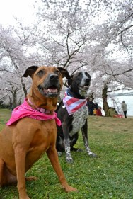 The dogs at the Cherry Blossom 2016