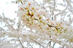 Cherry Blossom 2016