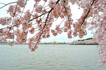 Jefferson Memorial Cherry Blossom 2016