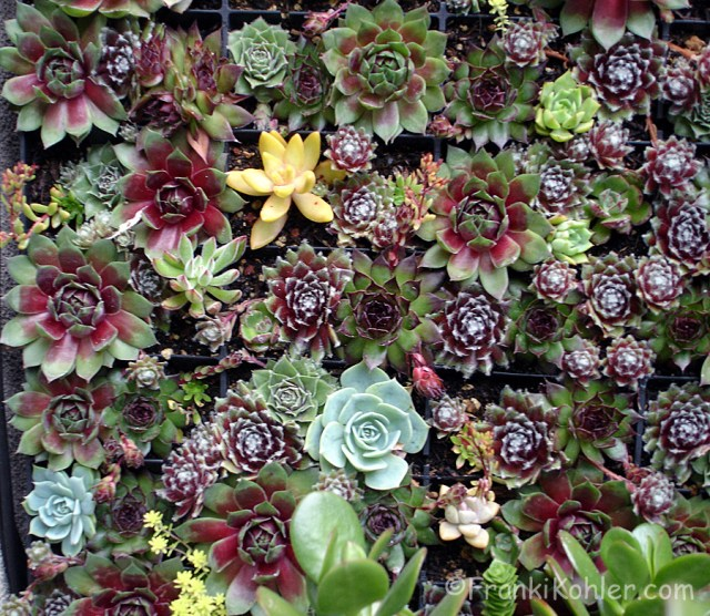 Franki Kohler, Succulent wall, close