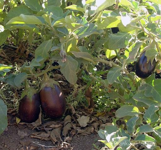 Franki Kohler, eggplant