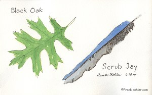 Black Oak and Feather Sketch