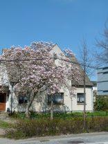 Magnolien in Sanitz (c) Frank Koebsch (1)