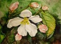 Apfelblüten (c) Miniatur in Aquarell von Frank Koebsch