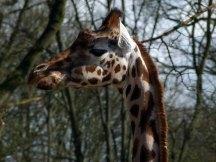 Giraffe im Schweriner Zoo (c) Frank Koebsch