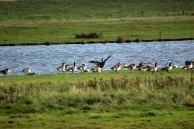 Vogelzug - Zwischenlandung auf Hiddensee (c) Frank Koebsch (1)