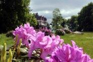 Rhododendren Blüten im Park von Schloss Wiligrad (c) Frank Koebsch (6)