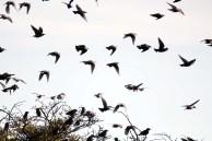 Vogelzug - Stare auf Ummanz (c) Frank Koebsch (7)