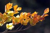 wunderbare Herbstfarben im Buchenwald Rügens (c) Frank Koebsch (1)