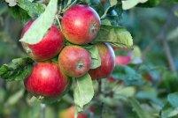 Äpfel im Bauerngarten von Middelhagen (c) Frank Koebsch(1)