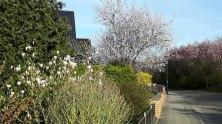 Magnolien und Obstblüten in Sanitz (c) Frank Koebsch